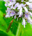 Limonia sp.? flower visiting crane fly
