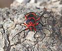 Megapurpuricenus magnificus - female