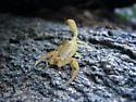 AZ Scorpion ID Request - Centruroides sculpturatus