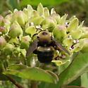 Xylocopa virginica texana Cresson - Xylocopa virginica - male