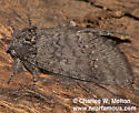 Hypopacha grisea - Heterocampa ruficornis