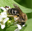 *Bee* ID Request - Colletes inaequalis - female