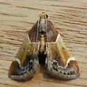 Meal Moth (Pyralis farinalis)  - Pyralis farinalis
