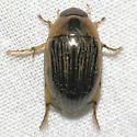 Water Scavenger Beetle -  - Tropisternus collaris