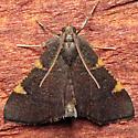 Hypsopygia sp. undescribed - Hypsopygia new-species