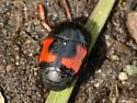 Small carrion-like beetle - Hister militaris