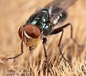 fly on deer carcass - Cochliomyia macellaria