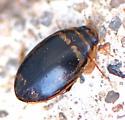 UID TINY BEETLE - Thermonectus basillaris