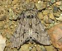H. tortuosa - Paraeschra tortuosa - male