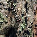 Fly in woodlands - Zelia - female