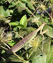 Is this Tenodera aridifolia sinensis? - Tenodera sinensis