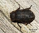 Beetle - Trox