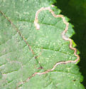 Linear mine on Corylus cornuta - Stigmella microtheriella