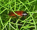 Florida Parcoblatta(?) - Ischnoptera - male