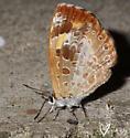 Harvester (Feniseca tarquinius) - Feniseca tarquinius