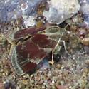 4841 – Heliothelopsis arbutalis.jpg - Heliothelopsis arbutalis