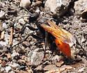 Unknown Wasp - Palmodes praestans - female