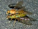 Ptecticus trivittatus - male - female
