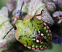 Green, Red, and Yellow Bug - Nezara viridula
