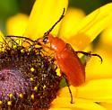 orange leaf beetle?