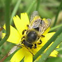 Hymenoptera 10a - Megachile perihirta - female