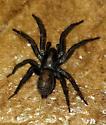 Ground Spider? Found indoors