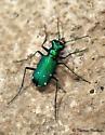 Six-Spotted Tiger Beetle (Cicindela sexguttata)? - Cicindela sexguttata