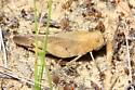 Sulphur-winged Grasshopper - Arphia sulphurea - female