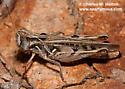 Grasshopper - Psoloessa texana - female