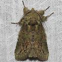 Moth unknown - Heterocampa biundata
