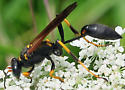 Black and Yellow Mud Dauber - Sceliphron caementarium - female