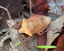 Predatory Stink Bug - Apoecilus