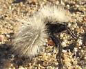 What species of white velvet ant is this? - Dasymutilla sackenii