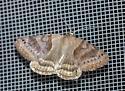 unknown moth - Caenurgina