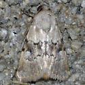 moth - Properigea continens