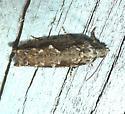 Pecan Bud Moth - Gretchena bolliana