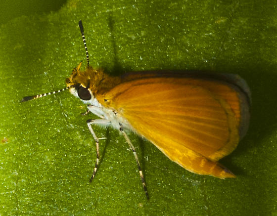 Small skipper - Ancyloxypha numitor