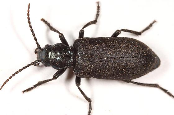 large beetle - Ditylus caeruleus