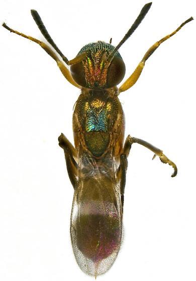 Female, Anastasus semiflavidus? - Anastatus - female