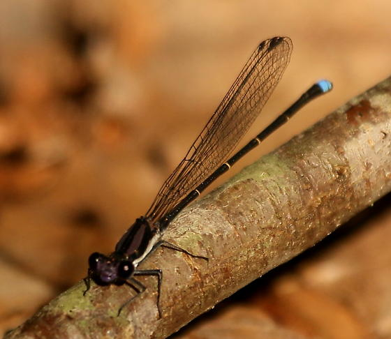 Blue-tipped dancer damselfly - Argia tibialis - male