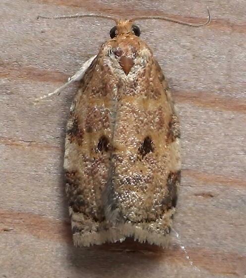 Tortricidae: Archips fervidana - Archips fervidana