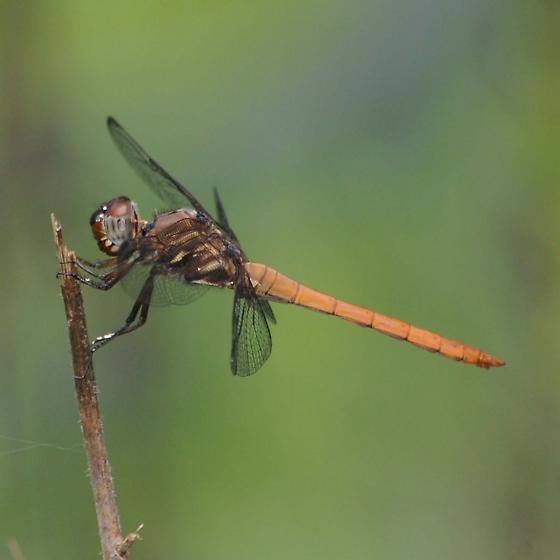 Dragonfly - Orthemis ferruginea