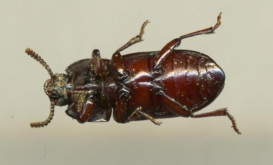 Beetle - Uloma impressa