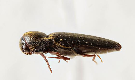 Another Eucnemid? - Dirrhagofarsus ernae