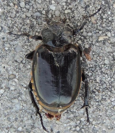 Black ground beetle sp? - Osmoderma eremicola
