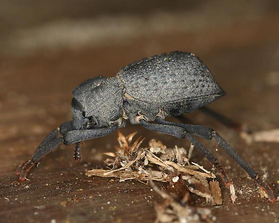 curtsying darkling beetle - Asbolus verrucosus
