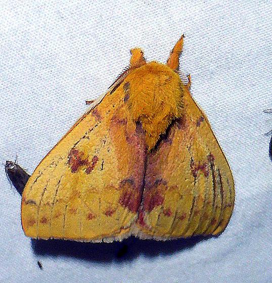 7746   Io Moth   (Automeris io) - Automeris io