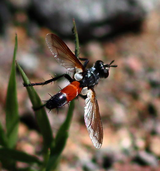 Cylindromyia intermedia? - Cylindromyia intermedia - male