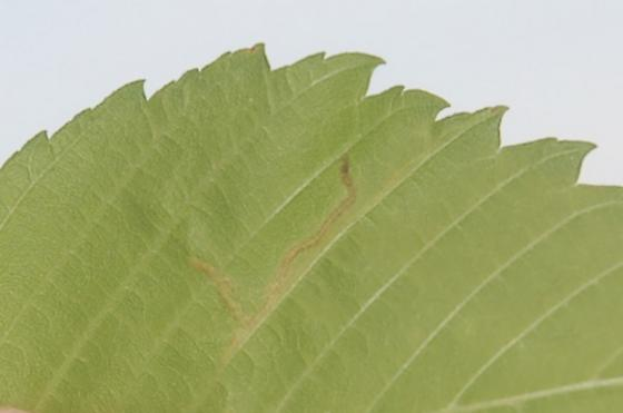 St. Andrews Leaf miner on Ulmus rubra SA324 2016 4 - Agromyza aristata