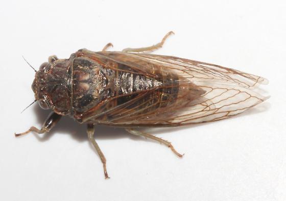 Cicadidae, dorsal - Okanagana balli